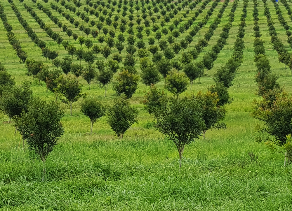 avocado orchard in south africa