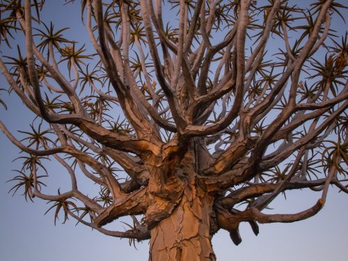 quiver tree against early morning sky