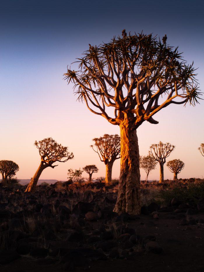 quiver tree desert plants