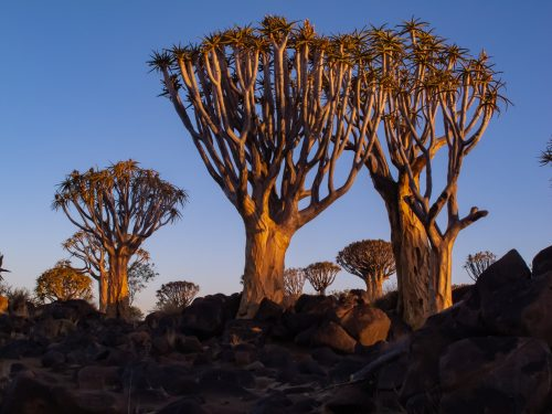 quiver tree desert plants